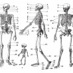 Постер, плакат: Human skeleton vintage engraving