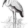 Yellow-billed Stork or Mycteria ibis vintage engraving — Vector de stock