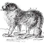 Kupferstich von Neufundland Hund, vintage — Stockvektor  #10997401
