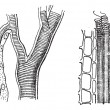 Royalty-Free Stock Vectorielle: Insect trachea and tracheae plant, vintage engraving.