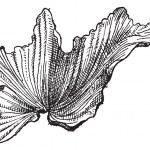 Sea Lettuceor Ulva lactuca, vintage engraving — Stock Vector #10998967