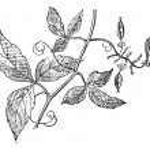 Urvillea or Urvillea sp., vintage engraving — Stock Vector #10999086