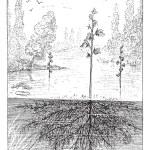 Utricularia or bladderworts plant, vintage engraving. — Stock Vector #10999119