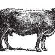 Swiss cattle breed, vintage engraving. — Image vectorielle