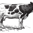 Dutch cattle breed, vintage engraving. — Imagen vectorial