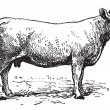 Charolais cattle, vintage engraving. — ベクター素材ストック