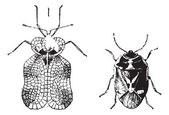 Left - Hemiptera Heteroptera, tiger bug or lace bug, Right - Nez — Cтоковый вектор
