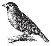 Sociable Weaver or Social Weaver (Philetairus socius) , vintage — Stock Vector