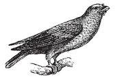 Broad-billed Roller or Eurystomus glaucurus, vintage engraving — Stock Vector