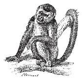 Squirrel Monkey or Saimiri sp., vintage engraving — Stock Vector