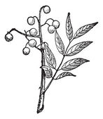 Goldenrain tree or Koelreuteria paniculata vintage engraving — Vector de stock