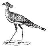 Secretary Bird or Sagittarius serpentarius, vintage engraving — Stock Vector