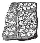 Sphenopteris, a seed fern, vintage engraving. — Stock Vector
