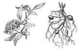 Spirea Lanceolate, Dropwort Meadowsweet, vintage engraving. — Stock Vector
