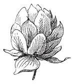 Strobilus, vintage engraving — Stock Vector