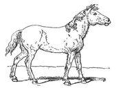 Tarpan or Equus ferus ferus vintage engraving — Stock Vector