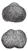 Truffles, vintage engraving — Stock Vector