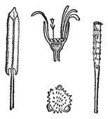款冬或款冬花的化学成分,复古雕刻 — 图库矢量图片