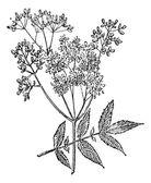 Meadowsweet or Filipendula ulmaria, vintage engraving — Stock Vector