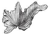 Sea Lettuceor Ulva lactuca, vintage engraving — Stock Vector