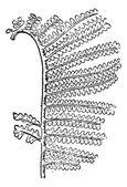 Gravura de gleichenia zippei, vintage — Vetor de Stock