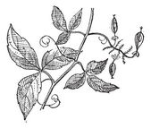 Urvillea or Urvillea sp., vintage engraving — Stock Vector