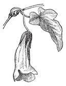 Usteria or Usteria sp., vintage engraving — Stock Vector