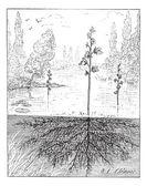 Utricularia or bladderworts plant, vintage engraving. — Stock Vector