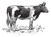 Breton cattle breed, vintage engraving. — Stock Vector