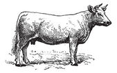 Charolais cattle, vintage engraving. — Vecteur
