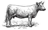 Gravure de bovins charolais, vintage. — Vecteur