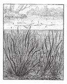 Vallisneria spiralis or Straight Vallisneria, vintage engraving. — Stock Vector