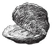 Oyster (bivalve mollusc), vintage engraving. — Stock Vector