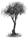 Vaquois (pandanus candelabrume), vintage engraving. — Stock Vector