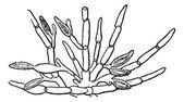 Kelp (Fucus serratus), vintage engraving. — Stock Vector
