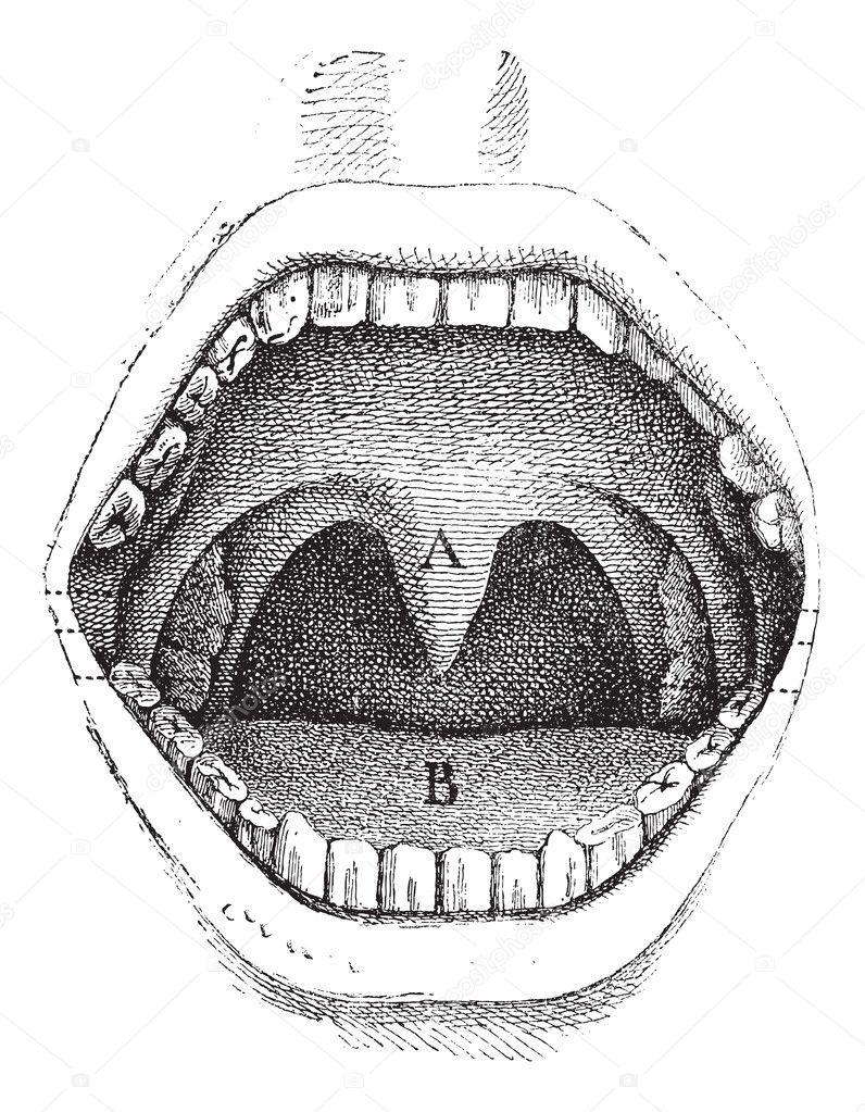 Fig 182 illustration de l 39 int rieur d 39 une bouche humaine for Interieur bouche