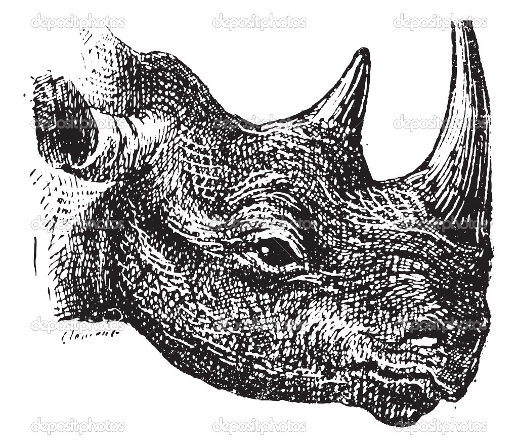 Black Rhinoceros or hook-lipped rhinoceros (Diceros bicornis), vintage engraved illustration. Dictionary of words and things - Larive and Fleury - 1895. — Stock Vector #10995325
