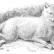 Arctic fox (Vulpes lagopus) or white fox, vintage engraving. — Vettoriali Stock