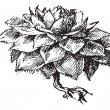 Houseleek or Sempervivum sp., vintage engraving -  