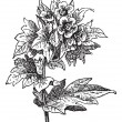 Henbane (Hyoscyamus niger) or stinking nightshade, vintage engra -  
