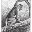 Kahau or proboscis monkey (Nasalis larvatus), vintage engraving. -  