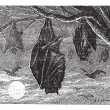 Kalong or Large Flying Fox (Pteropus vampyrus), vintage engravin -  