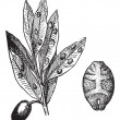 Kermes with olive, vintage engraving. - Image vectorielle