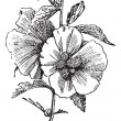 Hibiscus (hisbiscus syriacus), vintage engraving. -  