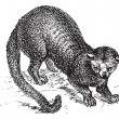 Kinkajou (Potos flavus) or honey bear, vintage engraving. -  
