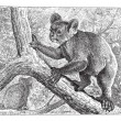 Koala, vintage engraving. -  