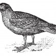 Skuas, vintage engraving. - Image vectorielle