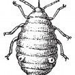 Aphid or plant lice, vintage engraving. — Stockvectorbeeld