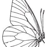 Lepidopteran or Lepidoptera, vintage engraving — Stock Vector