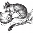 ストックベクタ: Dormouse or Glis glis, vintage engraving